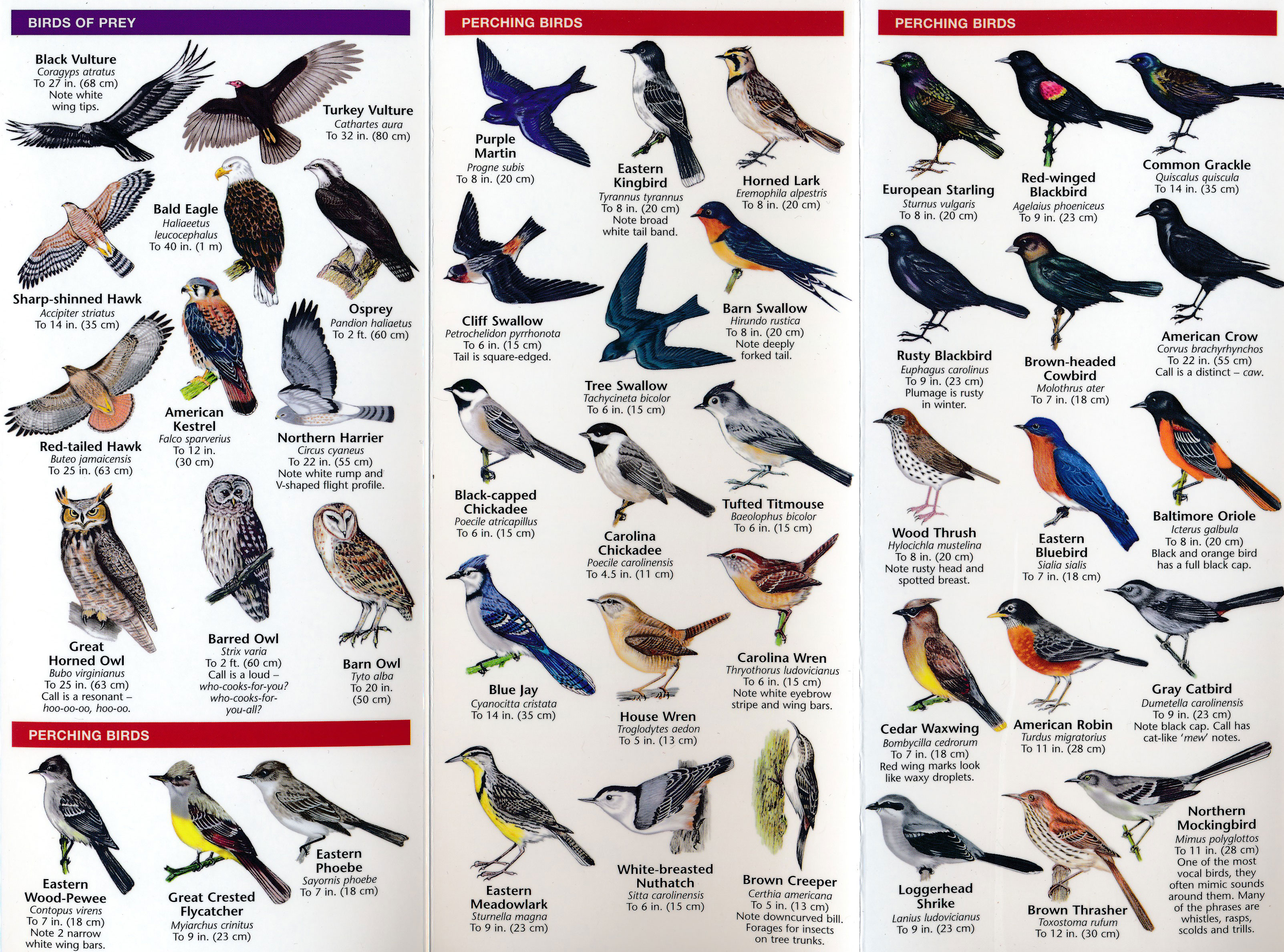 Fold Out Guide, Eastern Backyard Birds