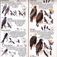 Folding Guide, Sibley's Raptors of Eastern North America