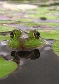 #53.  Bull Frog
