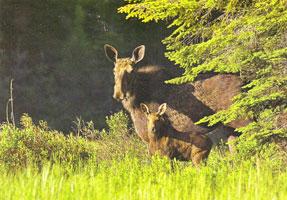 #74.  Algonquin Moose Cow and Calf