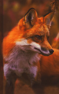 Red Fox Lined Journal