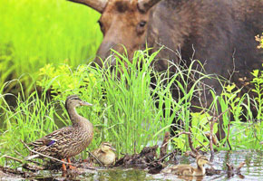 #72.  Algonquin Park, Moose with ducklings