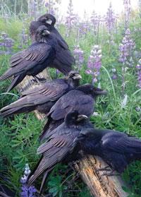Raven Rendezvous 1000 Piece Puzzle