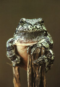 #19. Eastern Gray Treefrog