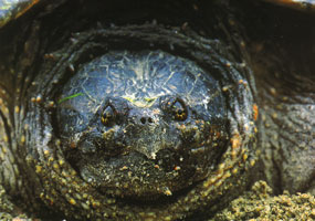 #50. Snapping Turtle